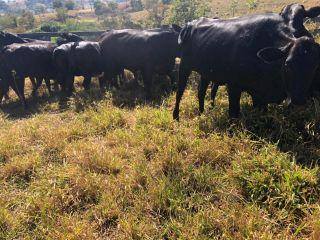 Polícia Civil recupera na zona rural de Lagoa Formosa gado furtado em Nova Ponte   Patos Agora - A notícia no seu tempo - https://patosagora.net