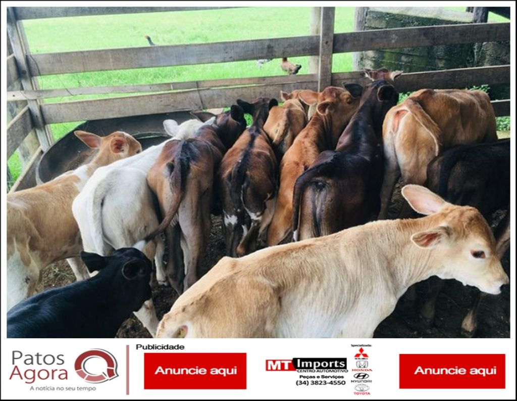 Raiva bovina provoca morte de animal e IMA alerta produtores rurais para vacinar o rebanho