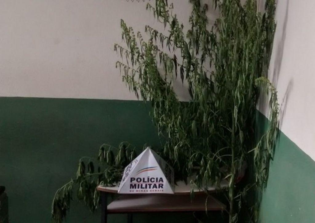 PM localiza pés de maconha em lavoura e lote vago em Patos de Minas