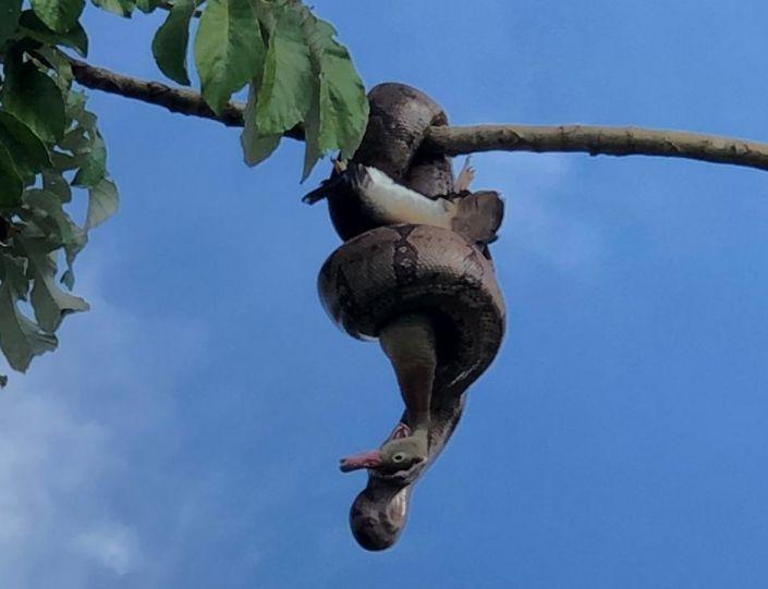 Flagrante de cobra comendo pato durante pescaria em Patos de Minas