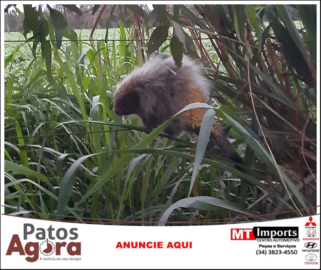 Bombeiros capturam ouriço-cacheiro dentro de quarto de residência em Patos de Minas