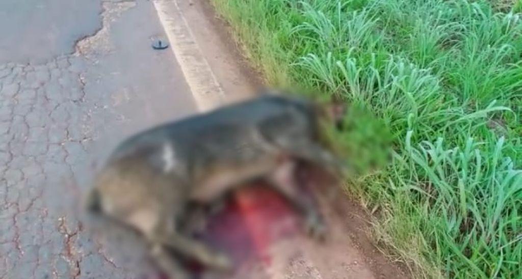 Javali é atropelado e provoca danos  em carro